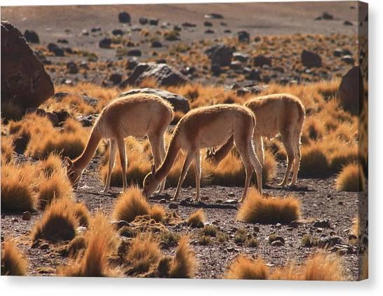 Llamas Canvas Print - San Pedro De Atacam by Mark Nowoslawski