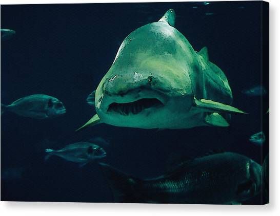Tiger Sharks Canvas Print - Sand Tiger Shark by Pati Photography