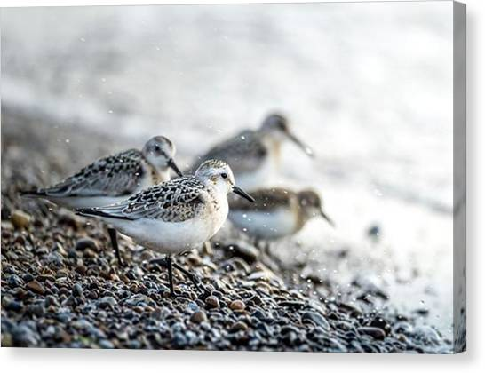 Sandpipers Canvas Print - Sanderling . Got Me Confused To by Hsa Htaw