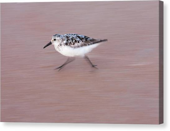 Sanderling On The Run Canvas Print