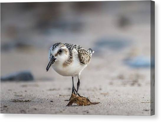 Sandpipers Canvas Print - Sanderling Correct Me If I;m Wrong by Hsa Htaw