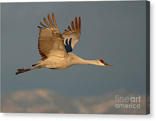 Sandhill Crane Flying Above The Mountains Of New Mexico Canvas Print