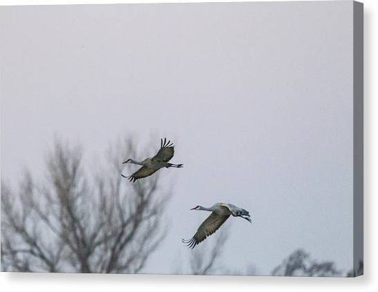 Sandhill Cranes Flying Canvas Print