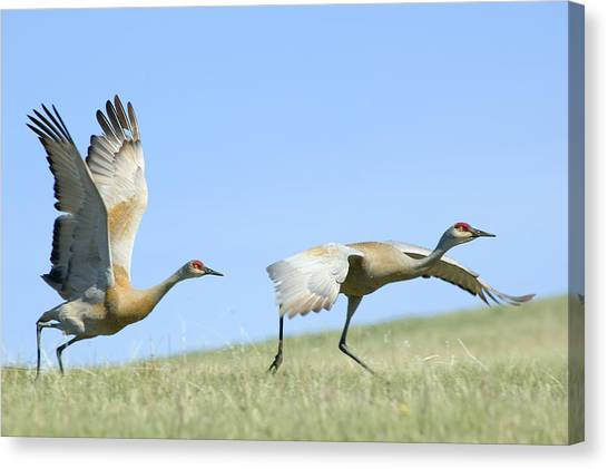 Sandhill Cranes Taking Flight Canvas Print