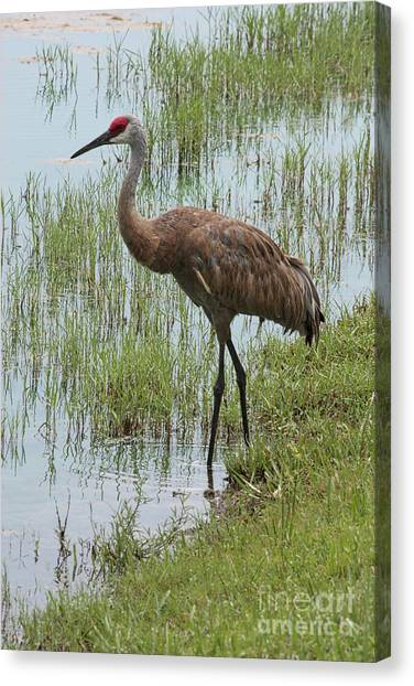 Sandhill In The Marsh Canvas Print