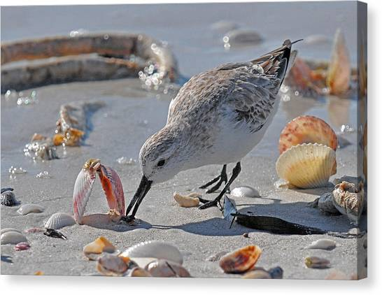 Sandpipers Canvas Print - Sandpiper by Alan Lenk