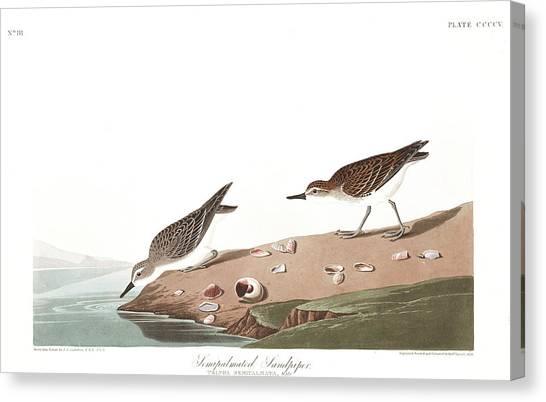 Sandpipers Canvas Print - Sandpiper by John James Audubon