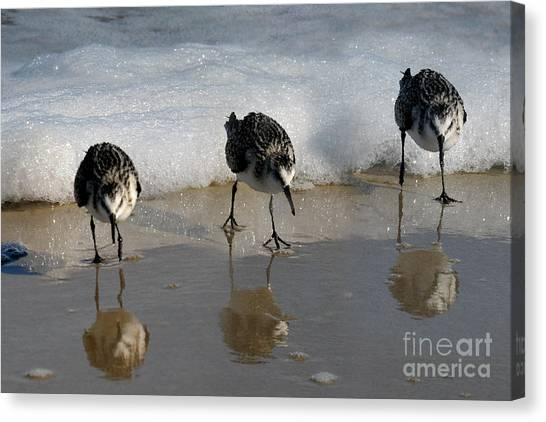 Sandpipers Feeding Canvas Print
