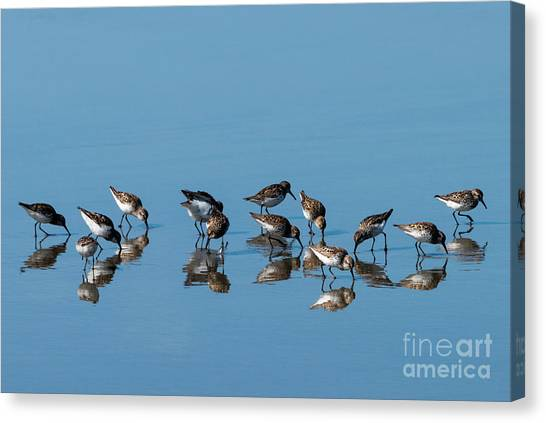 Sandpipers Canvas Print - Sandpipers Mirrored by Mike Dawson