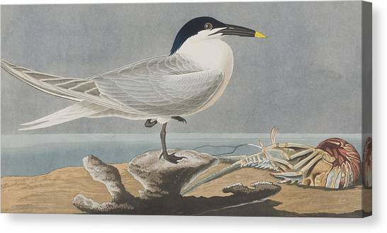 Sandwich Canvas Print - Sandwich Tern by John James Audubon