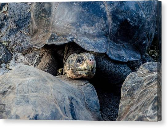Santa Cruz Tortoise Canvas Print by Harry Strharsky