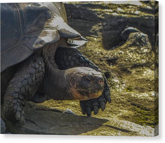Santiago Tortoise Canvas Print by Harry Strharsky