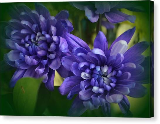 Sapphire Blue Chrysanthemums Canvas Print