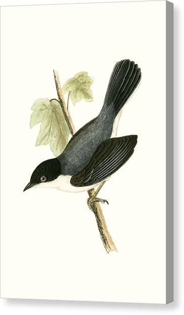 Warblers Canvas Print - Sardinian Warbler by English School