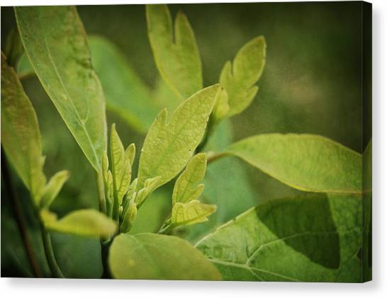 Sassafras Tree Canvas Print