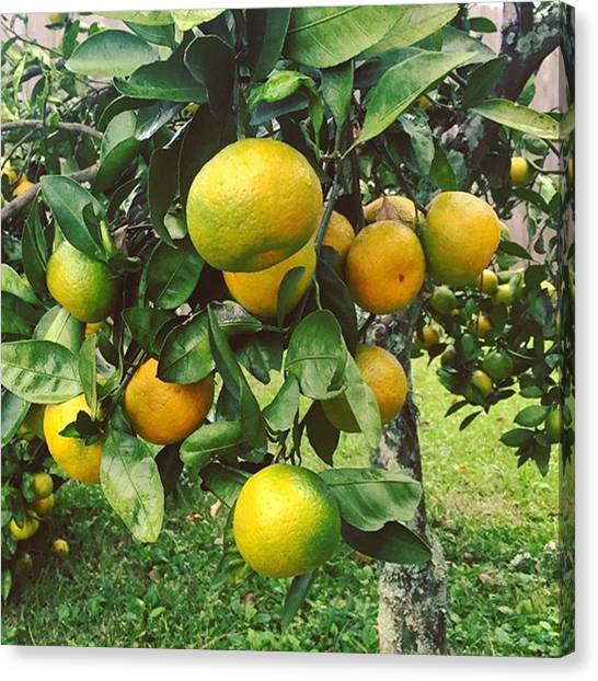 Louisiana Canvas Print - Satsumas..we Wait All Year For These by Scott Pellegrin