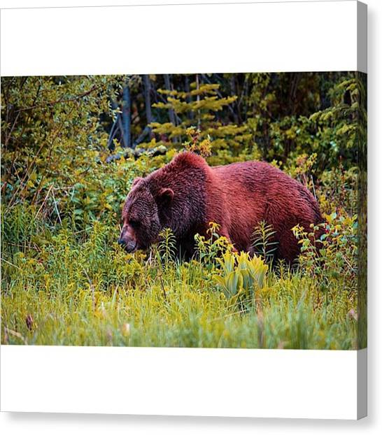 Grizzly Bears Canvas Print - Saw This Beast Of A Grizzly Roaming The by Scotty Brown