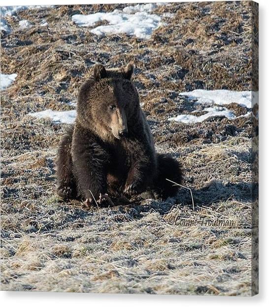 Grizzly Bears Canvas Print - Saw This Gorgeous Grizzly Near Canyon by Connie Troutman