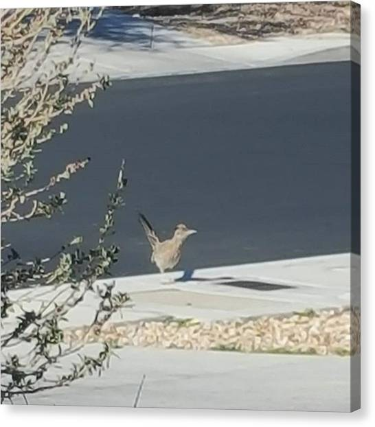 Roadrunner Canvas Print - Saw This Roadrunner Out Front Of My by Dante Cook