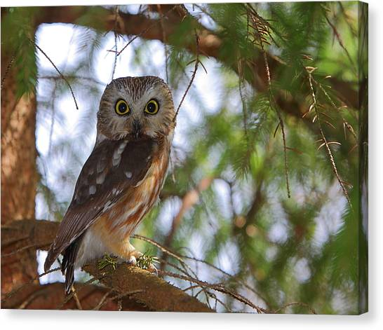 Saw-whet Owl Canvas Print
