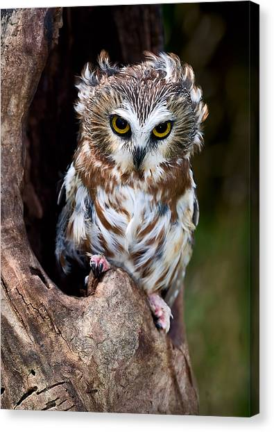 Saws Canvas Print - Saw-whet Owl by Wade Aiken