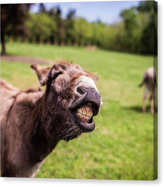 Donkeys Canvas Print - Say Cheeeeese! Good Morning, Y'all!:) by Zsolt Repasy