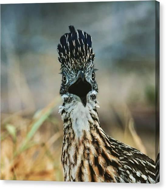 Roadrunner Canvas Print - Say Whaaaaaaaaat!? #birdpic by Chris Lopez