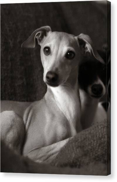 Say What Italian Greyhound Canvas Print