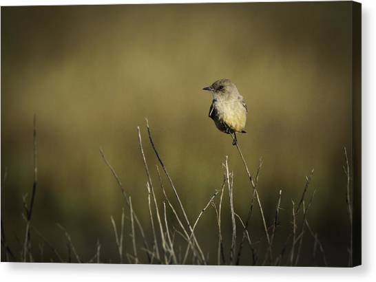 Say's Flycatcher Canvas Print