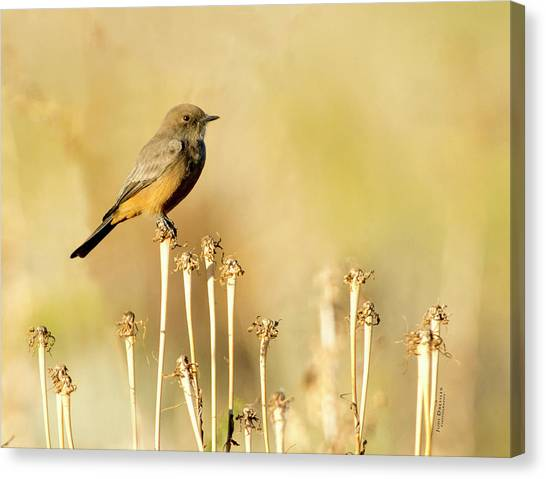 Say's Phoebe Canvas Print