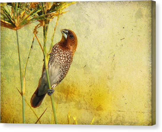Scaly-breasted Munia Canvas Print