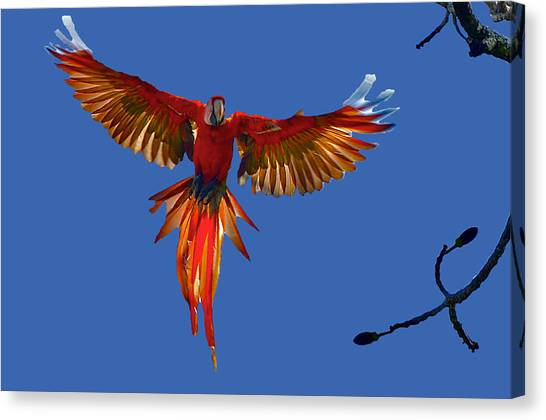 Scarlet Macaw On The Osa Peninsula Canvas Print