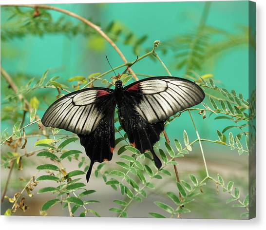 Canvas Print featuring the photograph Scarlet Swallowtail Butterfly -2 by Paul Gulliver