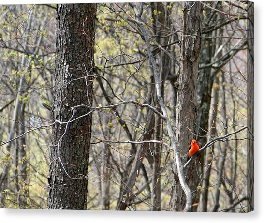 Scarlet Tanager Male Facing Canvas Print by Donald Lively
