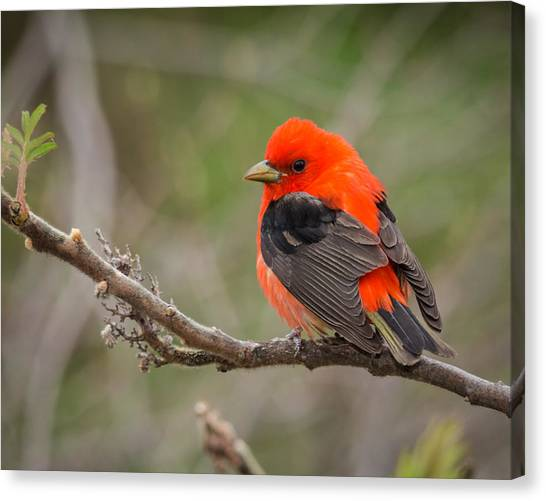 Scarlet Tanager On Branch Canvas Print
