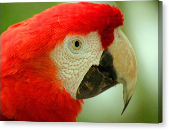 Scarlett Macaw South America Canvas Print by PIXELS  XPOSED Ralph A Ledergerber Photography