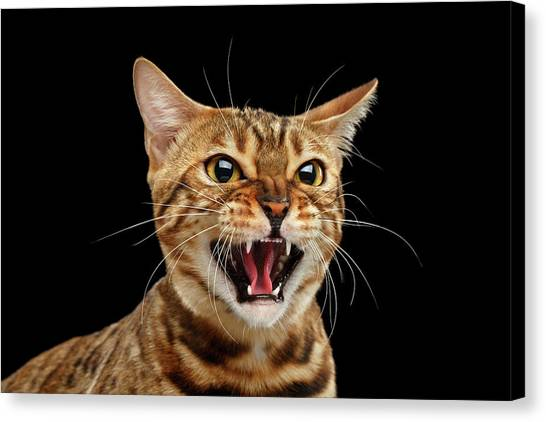 Scary Hissing Bengal Cat On Black Background Canvas Print