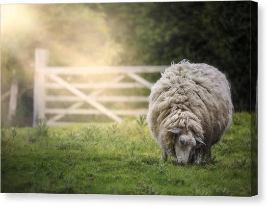 Sheep Canvas Print - Sheep by Joana Kruse