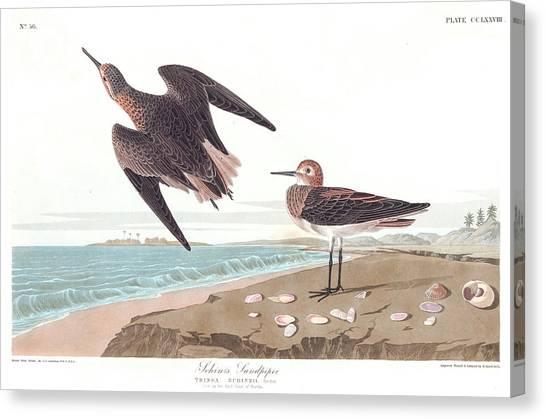 Sandpipers Canvas Print - Schins Sandpiper by John James Audubon
