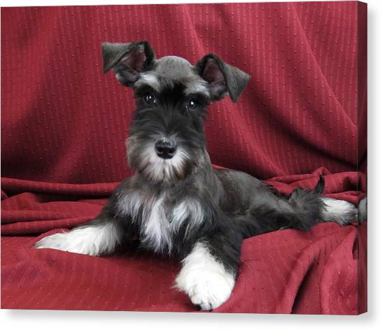 d15d8596 Schnauzer Dog. Canvas Print - Schnauzer Puppy by Michelle McCallum