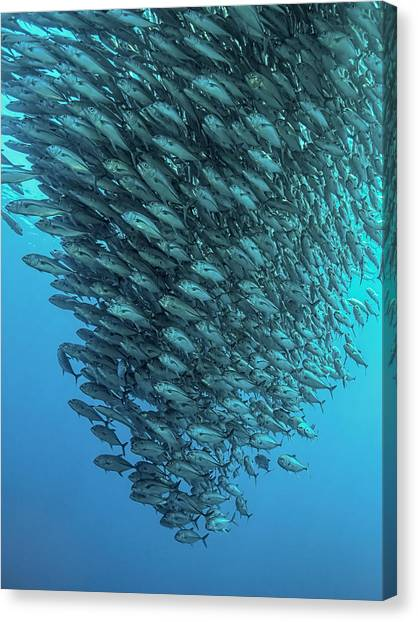 Scuba Diving Canvas Print - Schooling Jackfishes by Henry Jager