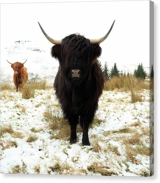 Scottish Black Highland Coo Canvas Print