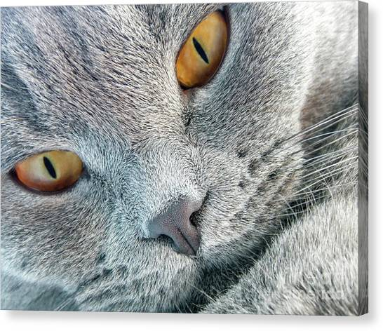Scottish Folds Canvas Print - Scottish Fold Cat by Viktoriya Manukyan