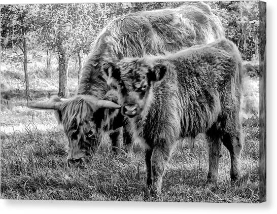 Scottish Highland Cattle Black And White Canvas Print