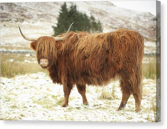 Scottish Red Highland Cow In Winter Canvas Print
