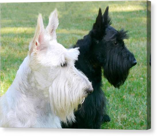 Scotty Canvas Print - Scottish Terrier Dogs by Jennie Marie Schell
