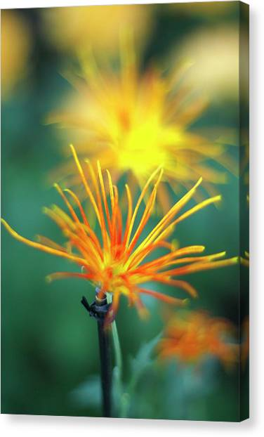 Scraggly Mum Canvas Print
