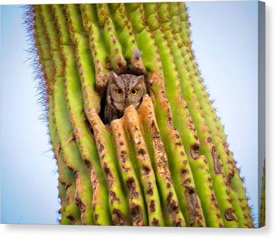 Screech Owl In Saguaro Canvas Print