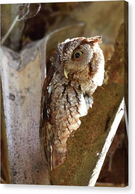 Preditory Canvas Print - Screech Owl On The Lookout by Sally Sperry