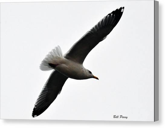 Sea Gull Hovering Canvas Print by Bill Perry